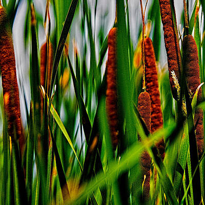 Photograph - Cattails In Summer by Roger Passman