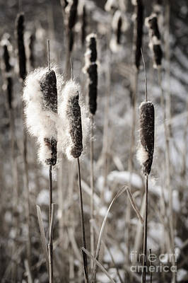 Fuzzy Photograph - Cattails In Winter by Elena Elisseeva