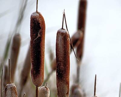 Photograph - Cattails by Janice Drew