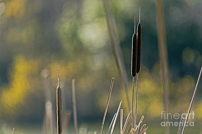 Photograph - Cattails by Kate Brown