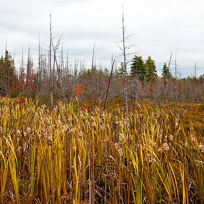 Photograph - Cattails Near Raquette Lake by David Patterson
