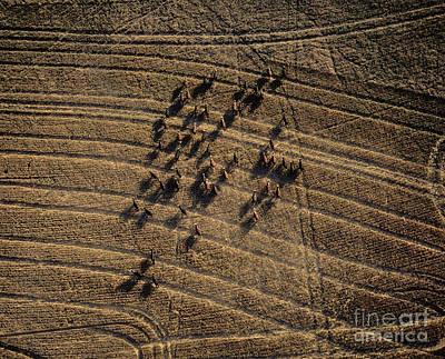 Cattle, Aerial View Art Print