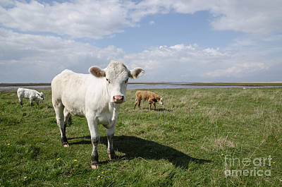 Photograph - Cattle At Coastal Pastureland by Kennerth and Birgitta Kullman