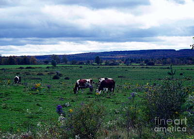 Photograph - Cattle At Pasture by Christian Mattison