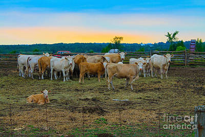 Photograph - Cattle At Sunset by Nina Silver