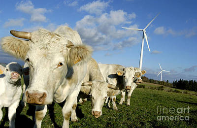 Turbines Photograph - Cattle by Bernard Jaubert