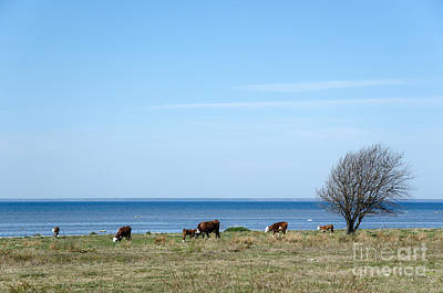 Photograph - Cattle By The Coast by Kennerth and Birgitta Kullman