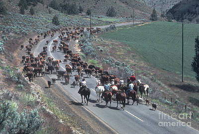 Cattle Drive Photograph - Cattle Drive In Oregon by Ron Sanford