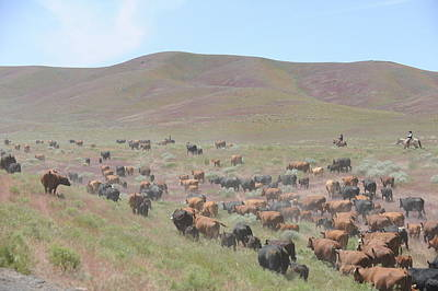 Cattle Drive In The Spring Art Print by Lee Raine