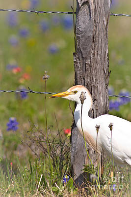 Photograph - Cattle Egret At Fenceline by Robert Frederick
