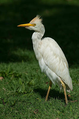 Abstract Animalia Royalty Free Images - Cattle Egret at Kualoa Royalty-Free Image by Dan McManus