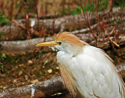 Photograph - Cattle Egret by Bill Swartwout