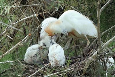 Cattle Egret Feeding Its Hatchlings Art Print