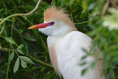 Cattle Egret In Breeding Season Art Print
