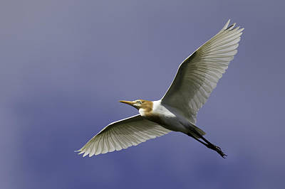 Photograph - Cattle Egret In Flight 1 by Brad Grove