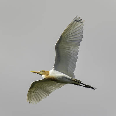 Photograph - Cattle Egret In Flight 2 by Brad Grove