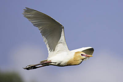 Photograph - Cattle Egret In Flight 3 by Brad Grove