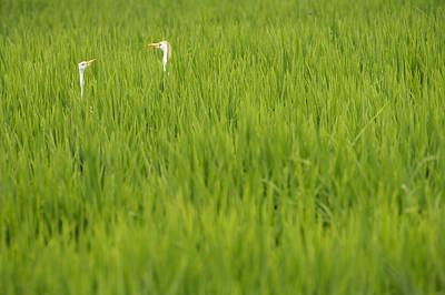 Photograph - Cattle Egret In Rice Fields by Byron Jorjorian