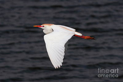 Photograph - Cattle Egret by Jennifer Zelik