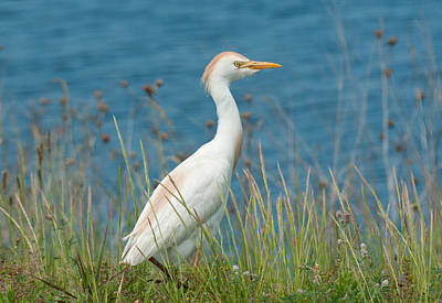 Photograph - Cattle Egret by Lara Ellis