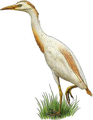 Photograph - Cattle Egret by Roger Hall