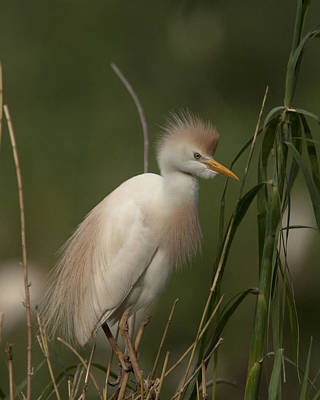 Photograph - Cattle Egret by Tony Mills