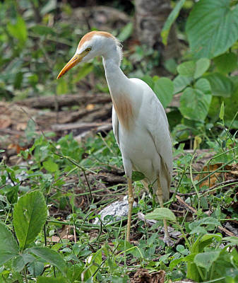 Cattle Egret Art Print