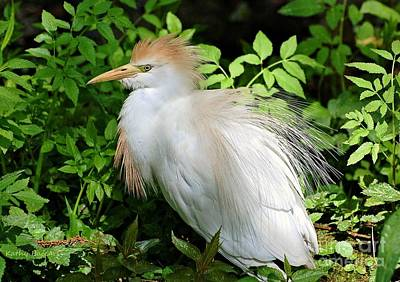 Photograph - Cattle Egret With Breeding Plumage by Kathy Baccari