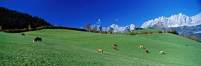 Cattle Graze In Alps Wilder Kaiser Art Print by Panoramic Images