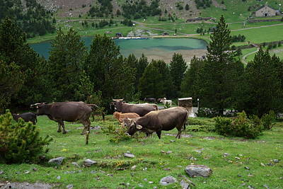 Photograph - Cattle Grazing In The Pyrenees by Toby McGuire