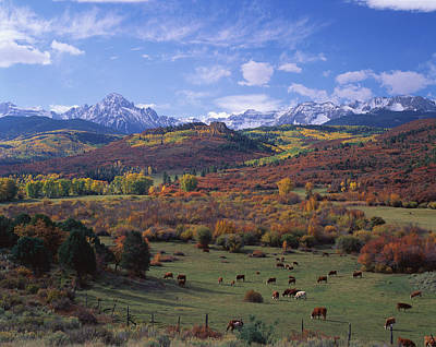 Grazing Snow Photograph - Cattle Grazing San Juan National Forest by Panoramic Images