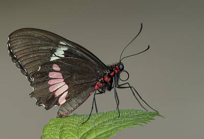 Photograph - Cattle Heart Butterfly by Sean Allen