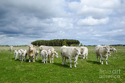 Photograph - Cattle Herd At Springtime by Kennerth and Birgitta Kullman