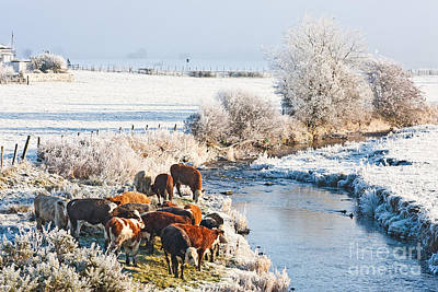 Cattle Photograph - Cattle In Winter by Liz Leyden