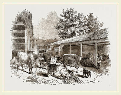Cattle-layer Art Print