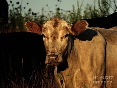 Photograph - Cattle Stare by Scott B Bennett