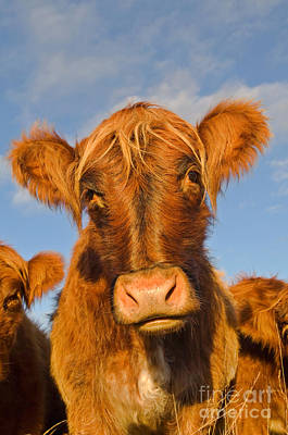 Photograph - Cattle Uk by Terry Whittaker