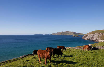 Farmscapes Photograph - Cattle With Distant Blasket Islands by Panoramic Images