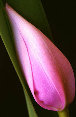 Orchid Buds Photograph - Cattleya Bud by Bill Morgenstern