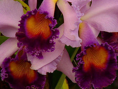 Cattleya Frills Art Print by Blair Wainman