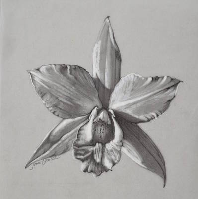 Orchid Drawing - Cattleya II - Iwanagara by Joan Garcia