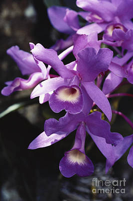 Epiphyte Photograph - Cattleya Of Costa Rica by Gregory G. Dimijian, M.D.
