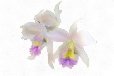 Cattleya Orchids Softly Art Print by Rosalie Scanlon