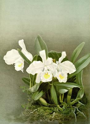 Cattleya Trianæ Alba, Sander Art Print