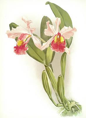 Botanica Drawing - Cattleya Warscewiczii, Sander, F. Frederick 1847-1920 by Artokoloro