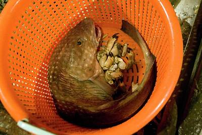 Crab Basket Photograph - Caught Fish by Andrew Wheeler