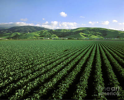 Photograph - Cauliflower Field by Craig Lovell
