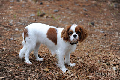 Photograph - Cavalier Dog by Dale Powell