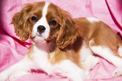 Companion Digital Art - Cavalier King Charles Spaniel Puppy by Daphne Sampson