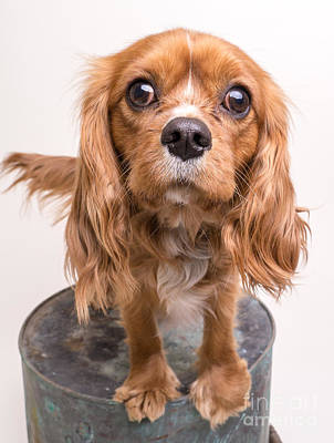 Wag Photograph - Cavalier King Charles Spaniel Puppy by Edward Fielding